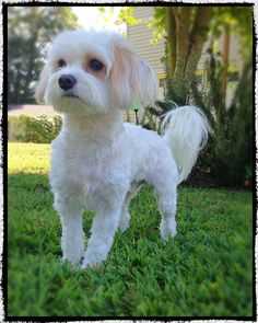 Can At-Home Grooming Be Dangerous? 9 Steps To Groom Your Dog With Scissors; Grooming A Dog With Matted Hair; 7 Dog Grooming Tips . Maltese Haircut Short, Puppy Haircut, Poodle Haircut, Maltipoo Haircuts, Dog Haircuts, Short Haircuts, Dog Grooming Styles, Dog Grooming Tips, Sweet Dogs