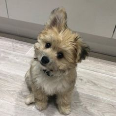 Pomeranian Mix - Top 20 Most Cutest and Huggable PomPom Cross Breed Cute Baby Puppies, Puppies And Kitties, Small Puppies, Pet Dogs, Pomsky Dog, Cute Pomeranian, Havanese Puppies, Pomeranians, Baby Animals