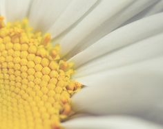 daisy nature photograph / flower macro yellow white by shannonpix on Etsy.