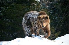 Bäriger Ausflügler: Schon früh im Jahr, im März oder April, sind die Braunbärenmännchen der Winterschlafhöhle entstiegen. Die Tourengeher sehen ein Exemplar in der Ferne den Berg hinaufrennen.
