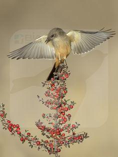 Say's Phoebe - BIA - birdimagency