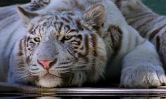 WHITE TIGER by Jim Utton on 500px