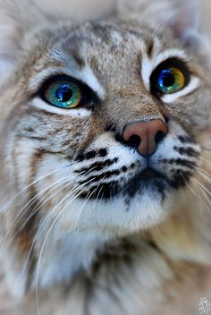 Cool retouched animal photo: ☀Bobcat by *Yellowstoned I Love Cats, Big Cats, Crazy Cats, Cats And Kittens, Cute Cats, Funny Cats, Animals And Pets, Baby Animals, Cute Animals