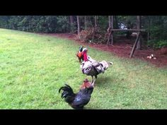 (31) Turkey Police stops rooster fight! - YouTube