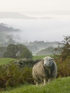 A Herdwick Sheep in the Lake District, United Kingdom Photographic Print by Ashley Cooper - AllPosters.co.uk