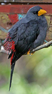 Grosbeak starling - Wikipedia, the free encyclopedia