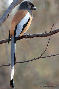 The Rufous Treepie is a treepie, native to the Indian Subcontinent and adjoining parts of Southeast Asia. It is a member of the Corvidae family. It is long tailed and has loud musical calls making it very conspicuous.