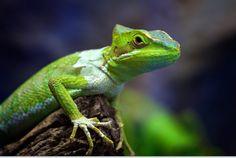 #green #lizard #reptile