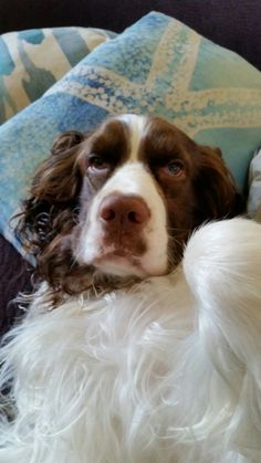 Springer Spaniel - Will you rub my belly?                                                                                                                                                                                 More