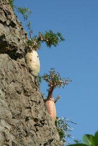 Dorstenia hildebrandtii forma crispum - Google Search -