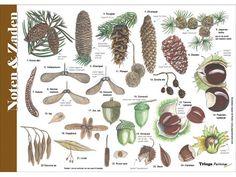 Herkenningskaart Noten, Zaden en Vruchten kopen? Vermandel.com is dé specialist als het gaat om insecten en entomologie. Vragen? Bel gerust: 0114-370378