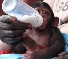 Rescued baby chimp with his bottle. The video (at the link) is way too cute.