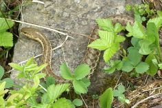 http://faaxaal.forumgratuit.ca/t1784-photo-de-serpent-couleuvre-rayee-couleuvre-jarretiere-serpent-jarretiere-thamnophis-sirtalis-common-garter-snake