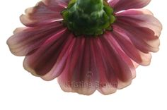 Flower Photography Pink Zinnia Nature Photo by SilverBirdBoutique