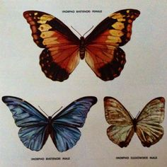 How to Paint Exotic Butterflies and Moths by Ralph S. Coventry. Morpho