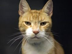 2/18/17 SL- 2/23/16 SL- Adopt Murfios, a lovely 10 years  4 months Cat available for adoption at Petango.com.  Murfios is a Domestic Shorthair / Mix and is available at the Anjellicle Cats Rescue in NEW YORK, NY