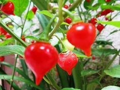 Fonte: http://receitasenutricao.com.br/nutricao/beneficios-da-pimenta-biquinho/