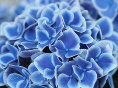"""Hydrangea"" Blue and Whight (Tadashi Yamaura / Okazaki / Japan) #E-M5 MarkII #macro #photo #insect #nature"