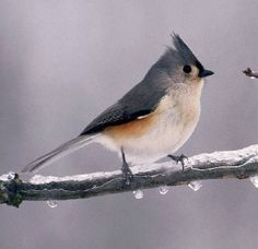Tufted Titmouse - a Wisconsin winter resident and big fan of sunflower seeds.