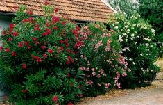 Nerium Oleander- another poisonous beauty commonly used a decorative foliage. Garden Oasis, Plants Poisonous To Dogs, Garden Plants, Indoor Plants, Oleander Plants, Front Yard Decor, Pot Plante, Plant Images, Nerium