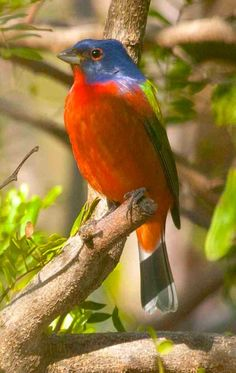 Colourful Birds, Exotic Birds, Painted Bunting, Wild Creatures, How To Be Likeable, Nature Animals, Parrots, Bird Feathers, Cardinals
