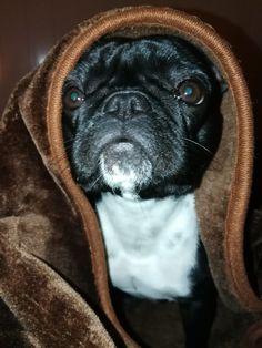 """Hello"", Polish the French Bulldog"