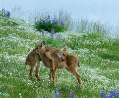 Fawns, omg its Bambi and Faline!