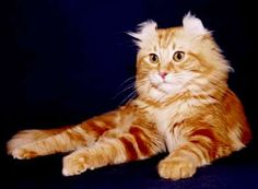 american curl cat - Google Search American Curl, Cat City, Cat Boarding, Lynx, Cat Breeds, I Love Cats, Cat Lovers, Google Search, Animales