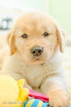 What a cute Golden Retriever puppy!