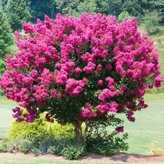 Pink Velour Crape Myrtle - Lagerstroemia indica for Sale - Brighter Blooms Nursery Lagerstroemia Indica, Crepe Myrtle Trees, Fast Growing Trees, Tower Garden, Balcony Garden, Garden Planters, Garden Beds, Plantar, Perennials