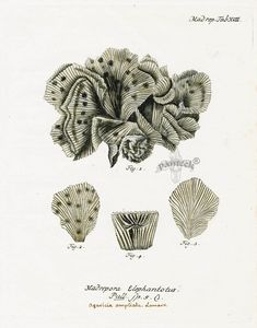 Johann Esper, Madrepora elephantotus, 1791