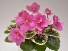 Merrilee (P.Haywood) Double raspberry-pink two-tone. Variegated medium green and white, plain, pointed, glossy. Miniature. Полумахровые или махровые малиново-розовые двутоновые цветы. Пестрая средне-зеленая с белым ровная блестящая листва. Миниатюра. Photo by Evgenika