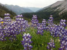 Purple Flowers on Rainier  #plant #purple #flowers #rainier #photography