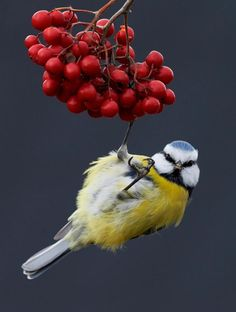 This striking image of a Blue Tit on berries was captured by Markus Varesvuo