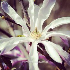Magnolia 'Fredelies' #gardening #tuinieren #jardinage #gartenarbeit #magnolia #flowers #bloemen #fleurs #blumen #tree #boom #arbre #baum #hortusconclusus #treenursery #boomkwekerij #pépinière #baumschule #uitbergen #berlare #zele #wichelen #schellebelle #lokeren #schoonaarde #dendermonde #laarne #beervelde #kalken #wetteren