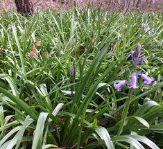 Opkomende hyacinten in Ockenburg Den Haag
