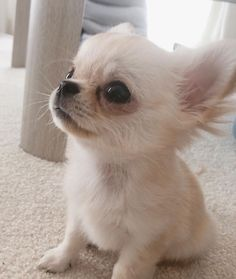 Teacup Chihuahua Puppies, Chihuahua Love, Cute Dogs And Puppies, Baby Puppies, Baby Dogs, Teacup Pomeranian, Doggies, Pet Dogs, Cute Little Animals