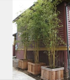 Bamboo in a planter.  Privacy hedge