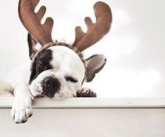 French Bulldog 'Reindeer' just fell asleep, via We Heart It