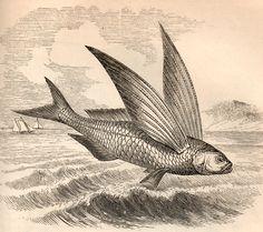 The Vintage Moth..: Vintage Clip Art- Flying Fish