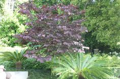 Cercis 'Forest Pansy' Auckland New Zealand
