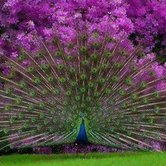 This is what you get when a Peacock opens up in front of a Rhododendron