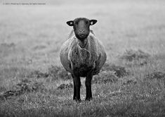 Contact ...  2017   photo made by S. Ugovsky. All rights reserved. - A black sheep in the middle of a lonely meadow. We both look at each other and maybe think the same ... :)