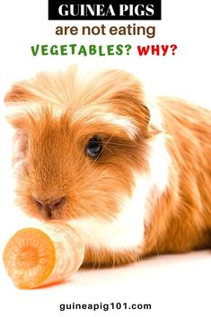 My guinea pig are not eating vegetables? WHY?     what precautions you need to take I how to care for pet guinea pigs I pet baby guinea pig care I small animal care I guinea pig information I information on pet guinea pigs I what to do with pet guinea pigs I things to know about pet guinea pigs I pet guinea pig tips I care tips for pet guinea pigs I small pet homes I guinea pig cages I #guineapigsallergies  #guineapigs #smallpets Guinea Pig Food, Baby Guinea Pigs, Guinea Pig Care, List Of Vegetables, Eating Vegetables, Guinea Pig Information, Pet Home, I Care, Things To Know