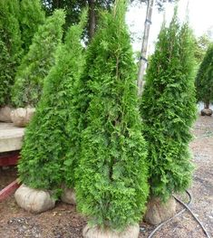 Emerald Cedar for privacy hedge Cedar Plant, Privacy Plants, Backyard Landscaping, Cedar Hedge, Trees To Plant, Garden Yard Ideas, Outdoor Gardens, Cedar Trees, Porch Plants
