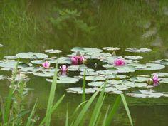 Lilie wodne Ustroń