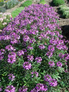 Our New Cleome Garden - Pith + Vigor - Cultivating Garden Style