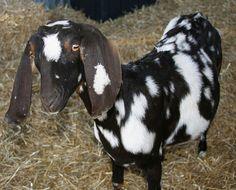 Nubian goat named Ten Ten! (by Jay Cusker)