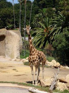 Santa Barbara Zoo... Giraffes are pretty much the best