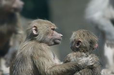Renowned primatologist Frans de Waal argues that our own sense of morality can be traced back to our primate relatives.